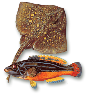 akvariet–skate-blåstål